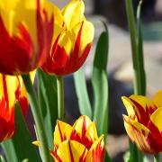 Frühjahrsblüher | Stefan Heininger Gartenbau